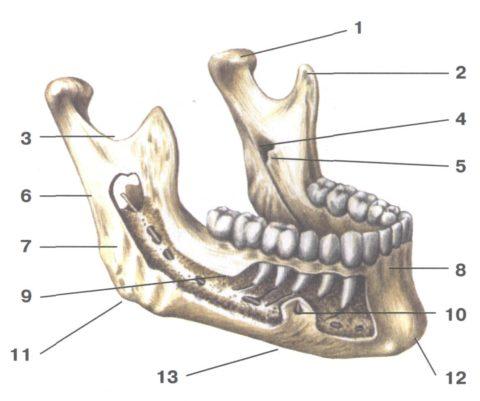 Единственная подвижная кость черепа