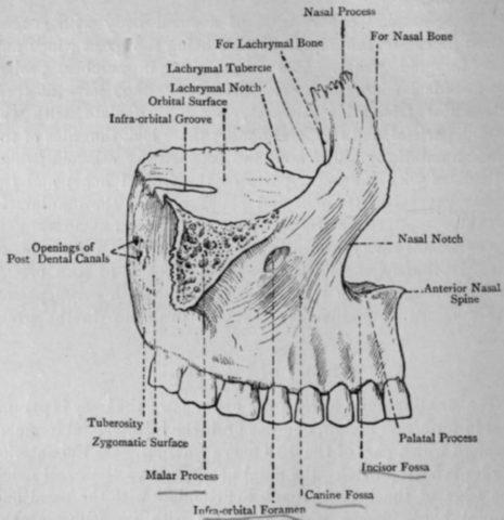Верхняя челюсть — парная кость