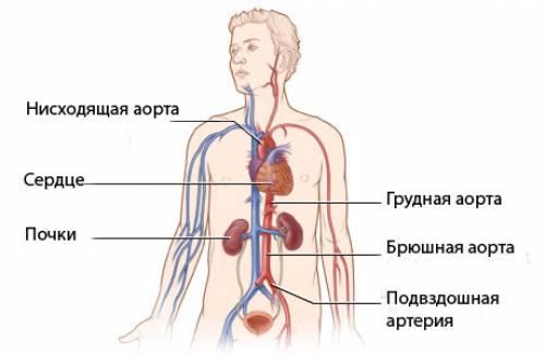 Где находиться у человека аорта