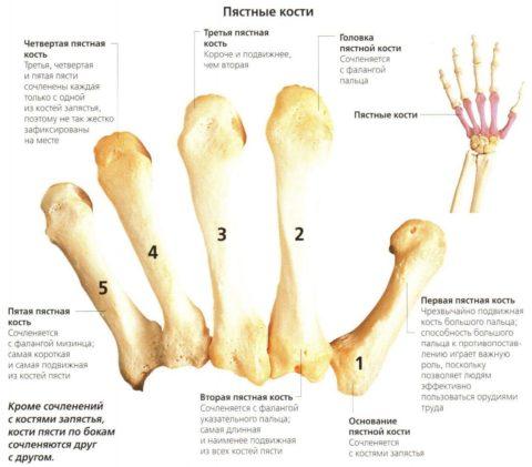 Каждая кость имеет свои особенности и помогает человеку по-своему