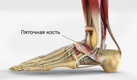 На фото показана анатомия стопы
