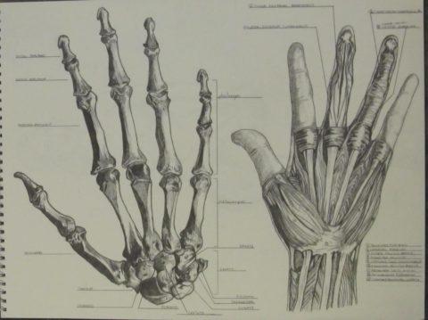 Пальцы образованы фалангами