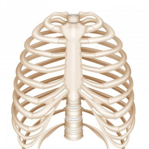 Ребра имеют определенное строение