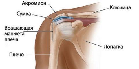На фото представлена анатомическая структура плеча.