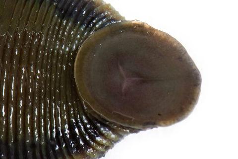 Присоска червя с тремя челюстями