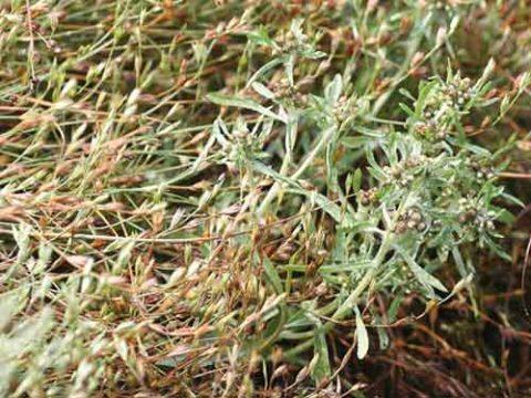 Сушеница болотная поможет справиться с болью.