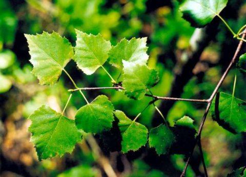 Для приготовления масла следует использовать только молодые листья березы.