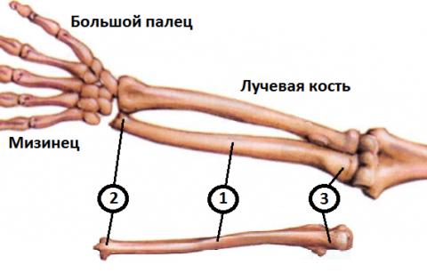 Локтевая кость: 1 – тело (диафиз), 2 – дистальный эпифиз, 3 – проксимальный эпифиз