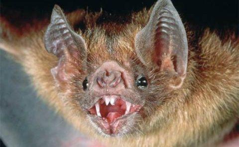 На этом фото хорошо видны острые зубки летучего зверька.