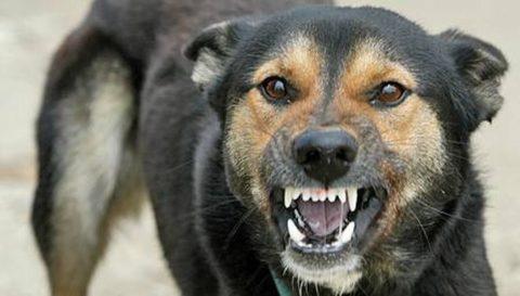 При укусе собаки существует вероятность заражения пострадавшего вирусом бешенства.
