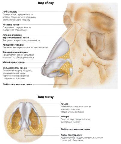 Схема строения наружного отдела носа