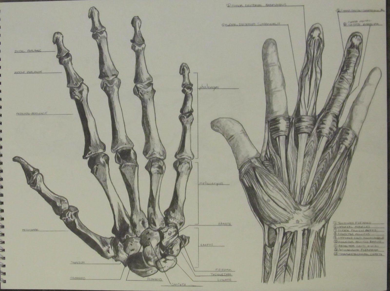 Кости кисти человека в картинках