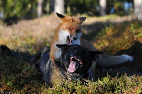 Агрессия в отношении людей и домашних животных.