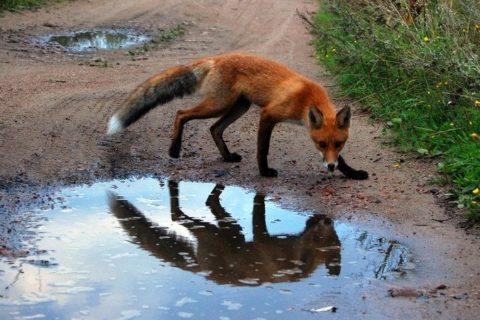 Бешеная лиса не боится человека.