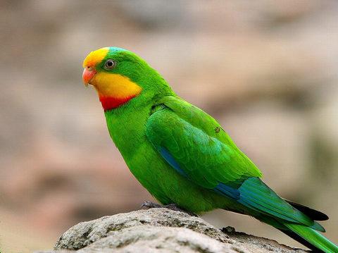 Домашние попугаи могут прожить до 15 лет, при условии, если владелец будет крайне внимательно и заботливо ухаживать за своим пернатым питомцем.