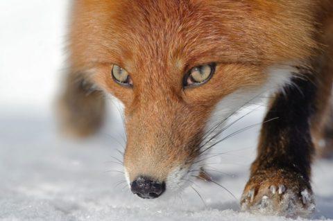 Если укусила лиса - что делать?