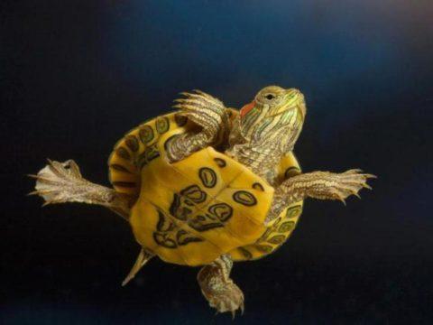 Красноухая черепаха может прожить до 50 лет, при условии, если владелец будет внимательно и заботливо ухаживать за своим питомцем.