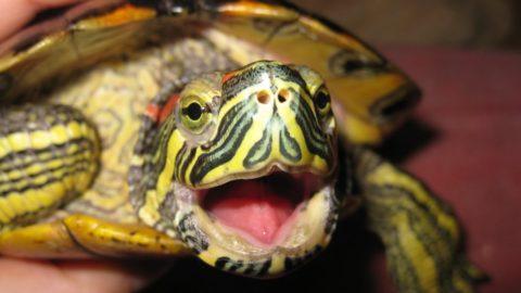На этом фото хорошо видно отсутствие зубов у красноухой черепахи, но это не делает ее укус менее болезненным.