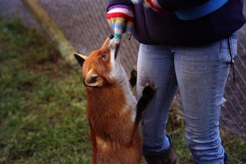 Насколько опасна лиса для человека.