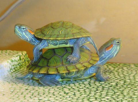 Однако не стоит враждебно относиться к этим маленьким животным, укусы красноухой черепахи - довольно редкое явление.