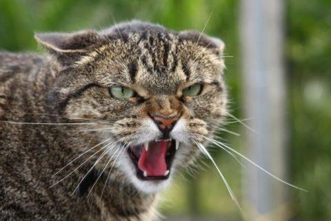 Инфицированная кошка, при прогрессировании бешенства, ведет себя агрессивно.