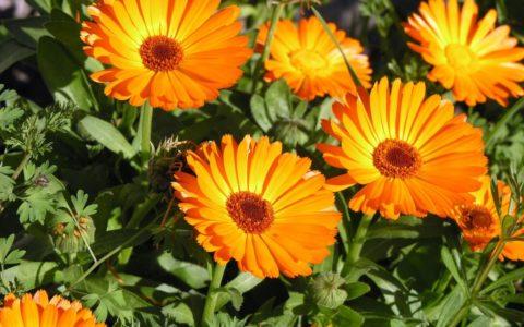 Предотвратить развитие воспалительных процессов помогут свойства лечебных растений.