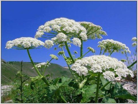 Распространено растение повсеместно.