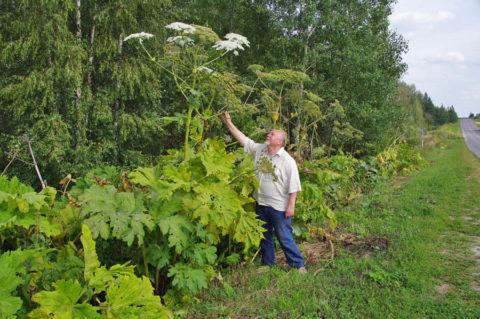Растение может достигать различных размеров.
