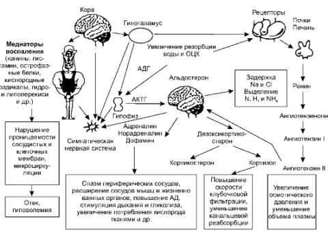 Сложный патогенез ожоговой реакции организма