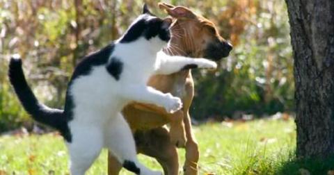 У пораженного бешенством животного может отсутствовать инстинкт самосохранения