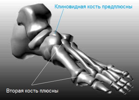 Вторая плюсневая кость длиннее остальных