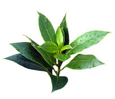 Бактерицидные свойства чайного дерева