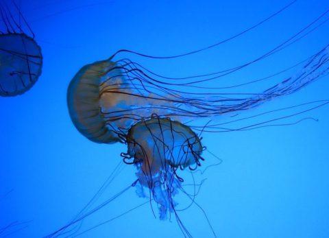 Морская оса