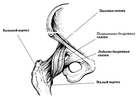 Анатомическое строение бедренной кости. На рисунке доступно показан большой вертел и малый вертел.