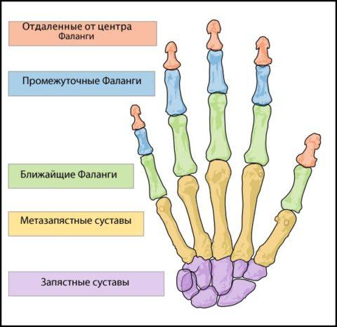 Кисть состоит из множества мелких костей – 27 штук.