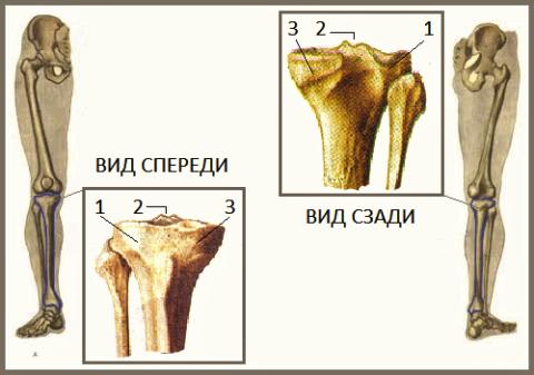 Наружный (1) и внутренний (3) мыщелки большеберцовой кости, межмыщелковое возвышение (2)