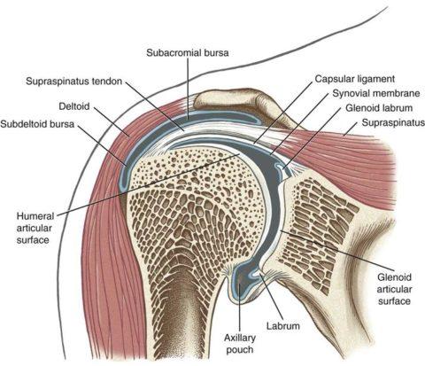 Схематическое изображение среза плечевого сустава.