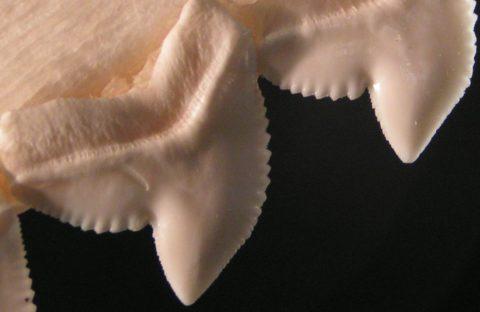 Уникальная форма зубов