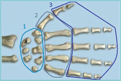 Кисть человека:1 – кости запястья (а – Ладья); 2 – пястные кости; 3 – фаланги пальцев