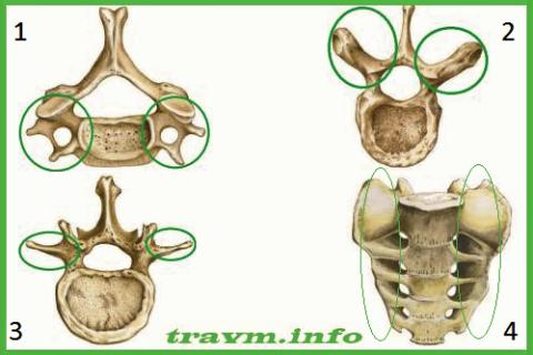 Поперечные отростки шейных (1), грудных (2), поясничных (3) позвонков и латеральные части крестца