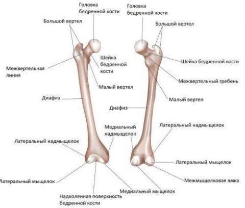 На фото анатомическое строение бедренной кости.