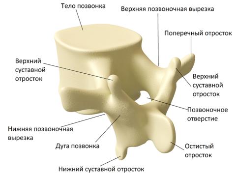 Отверстия позвонков образуют канал, в котором размещается спинной мозг