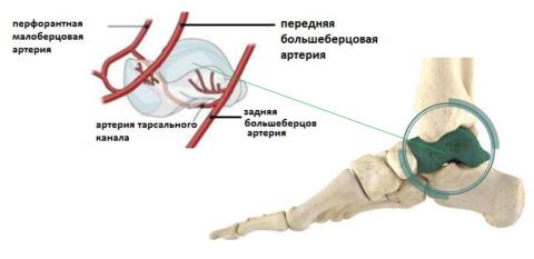 Кровоснабжение надпяточной кости