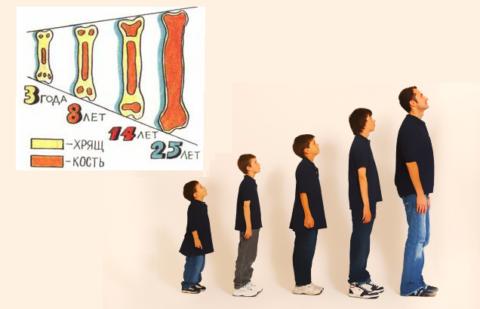 Схематические структурные возрастные изменения, происходящие в трубчатых костях