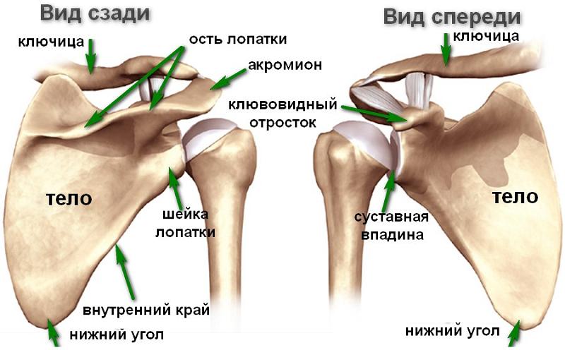 Строение лопаточной кости