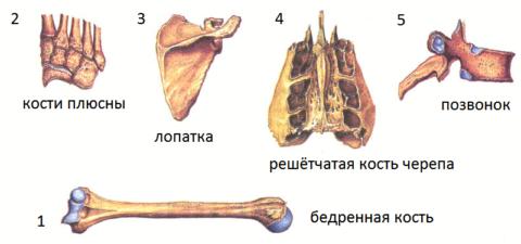 Скелет человека состоит из трубчатых (1), губчатых (2), плоских (3), воздухоносных (4) и смешанных (5) костей