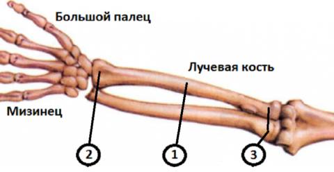 1 – тело (диафиз); 2 – дистальный (нижний) конец; 3 – верхняя часть (головка, шейка, бугристость)