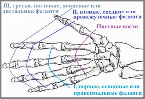 Большие пальцы состоят из 2-х, а остальные из 3-х фаланговых косточек