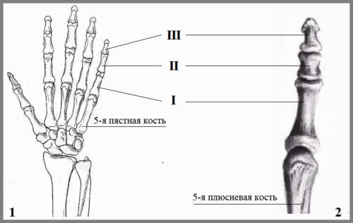 Нумерация фаланговых костей мизинцев на правой руке (1) и ноге (2)